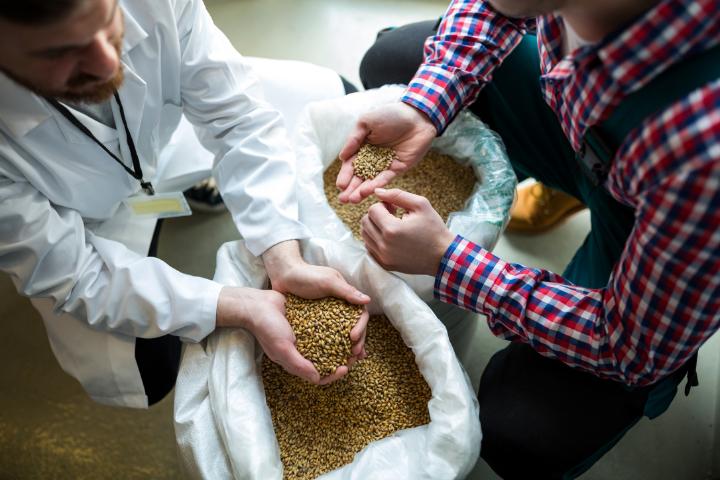 Two farmers examining grain
