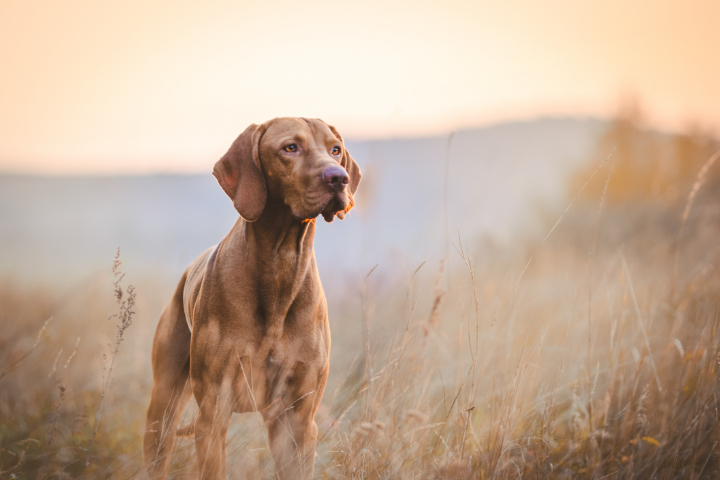 Brown Labrador Retriever in field