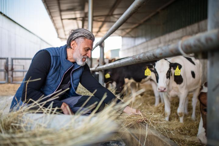Man feeding dairy cow