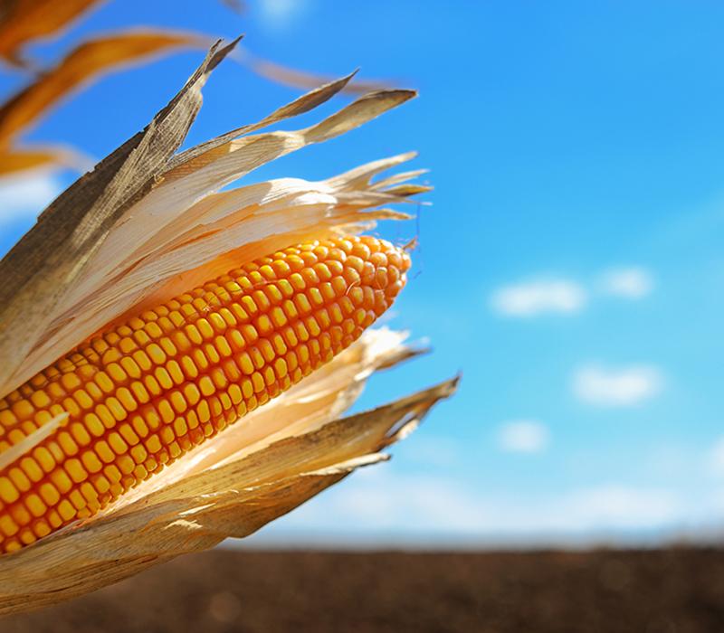 Organic corn in field