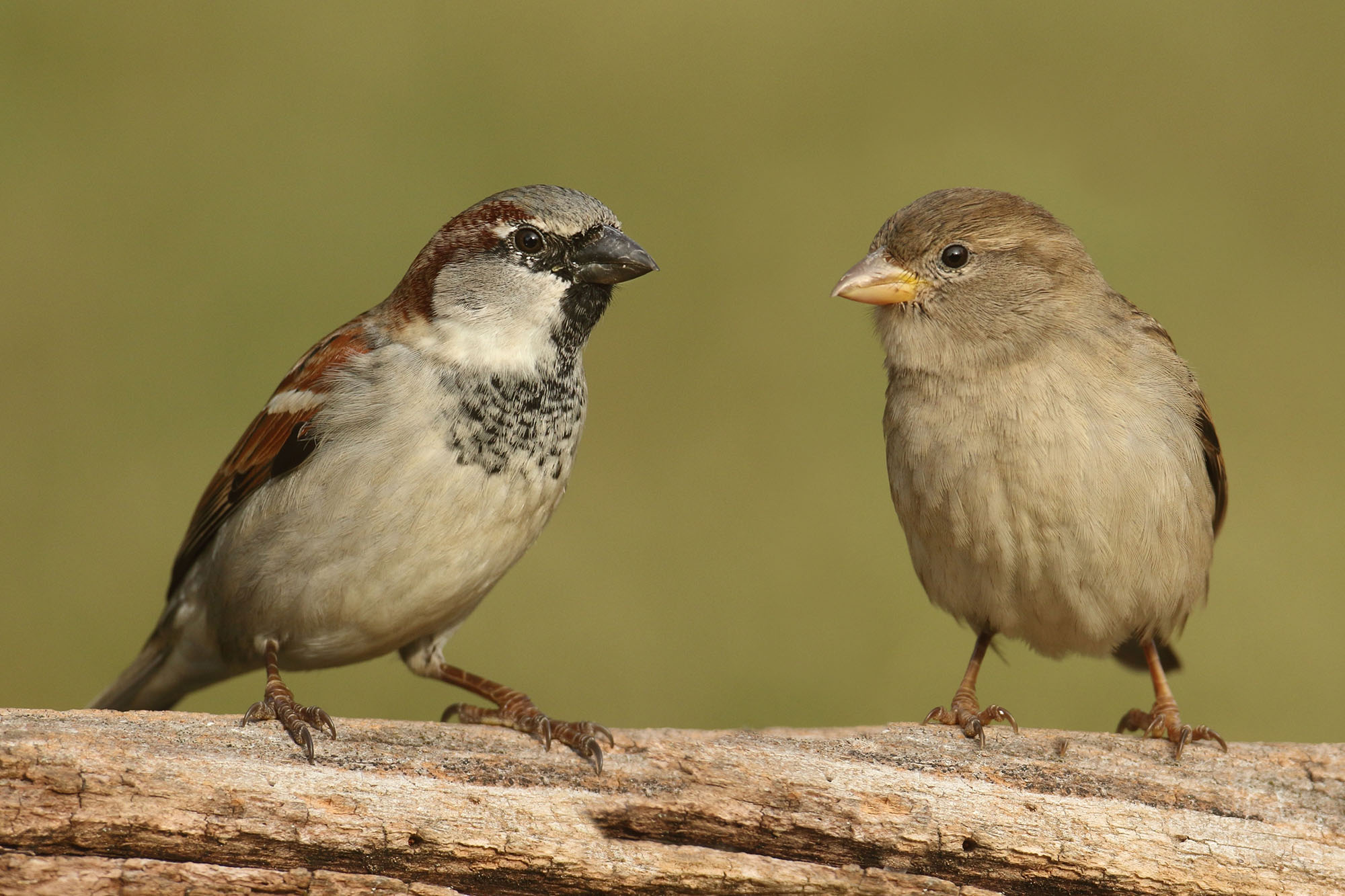 Male and female house sparrows