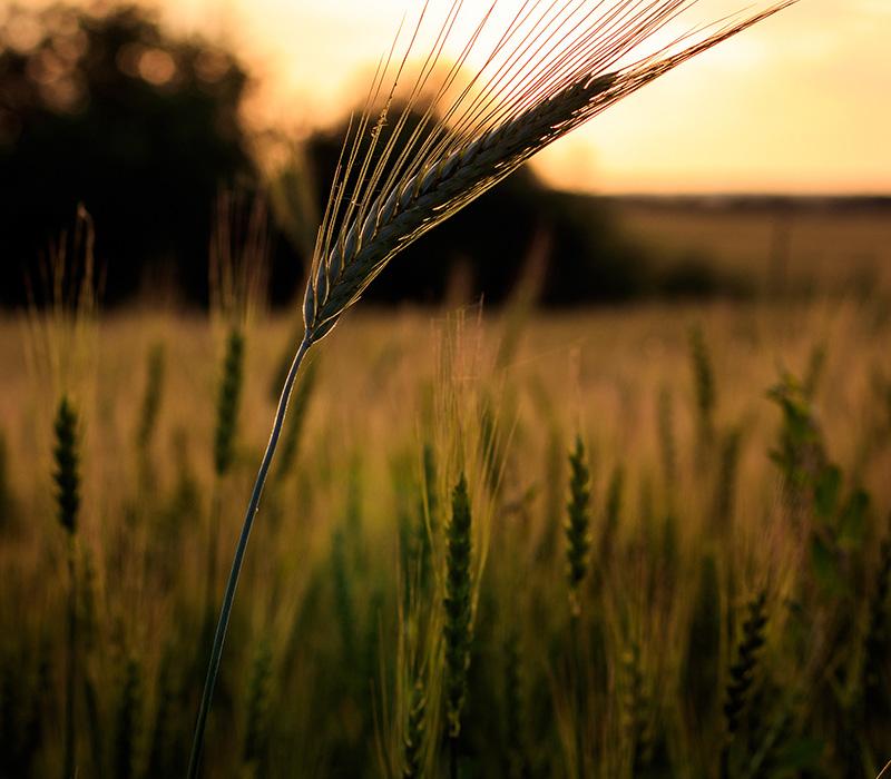 Organic rye in field