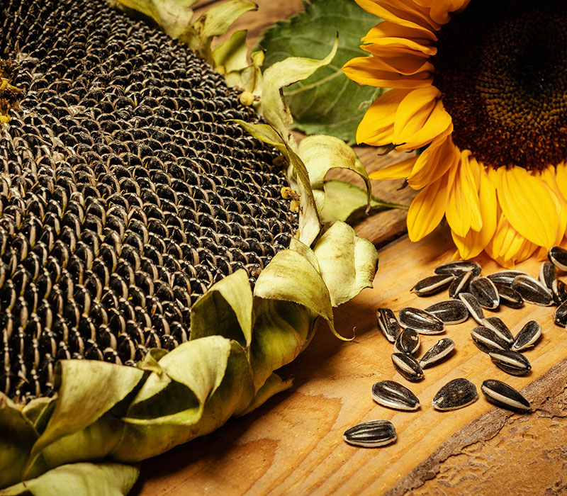 Striped sunflower seed sunflower