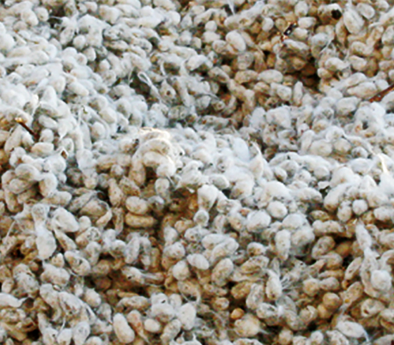 Whole cotton seed