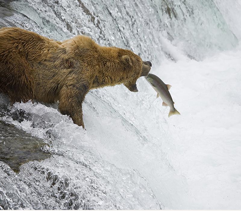 Wild Alaskan salmon used to make fish oil.
