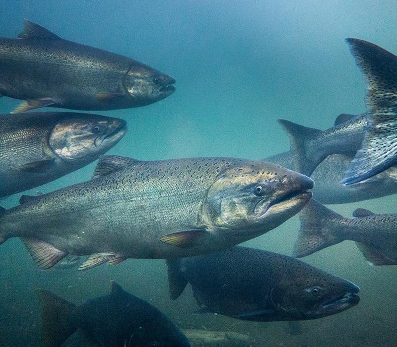 Farmed Chinook Salmon