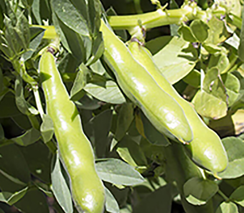 Fava beans in a field.