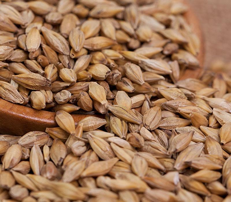 Malting barley beans