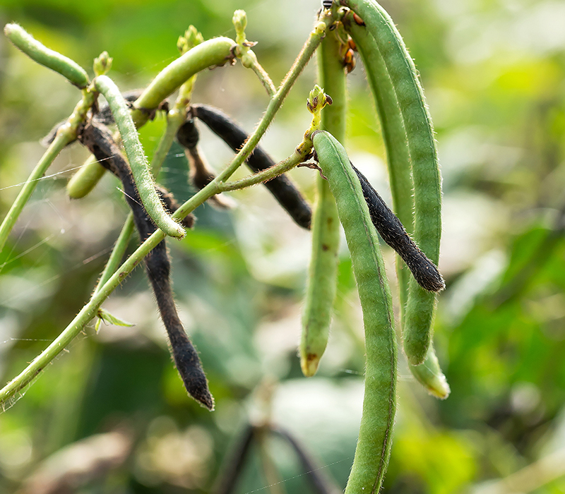 Mung beans in a field.