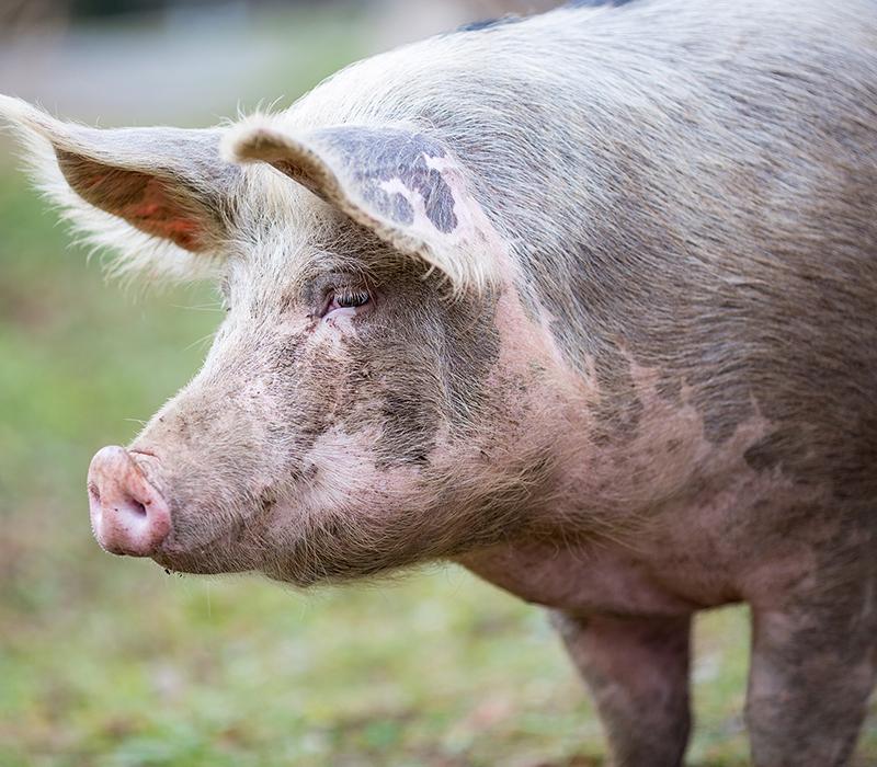 Free range pig