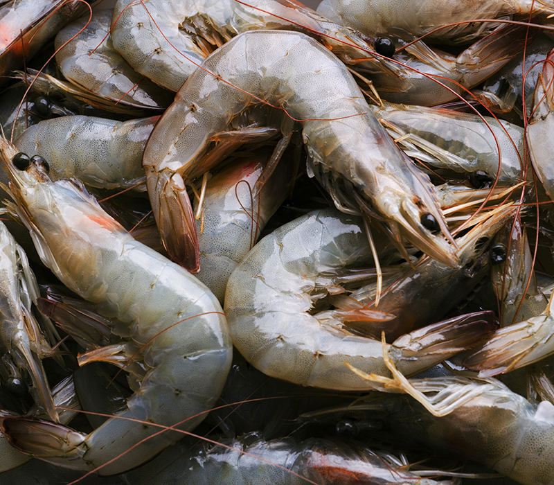 Shrimp freshly harvested